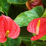 Houseplant of the Month: Anthuriums