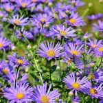 Perennial of the Month – Fall Asters