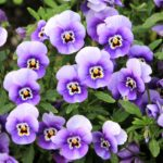It's Time To Plant Pansies!