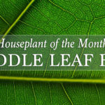 Houseplant of the Month: Fiddle Leaf Fig