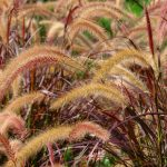Plant of the Month: Red Fountain Grass