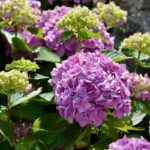 Rediscovering a Classic – A Variety of Hydrangeas
